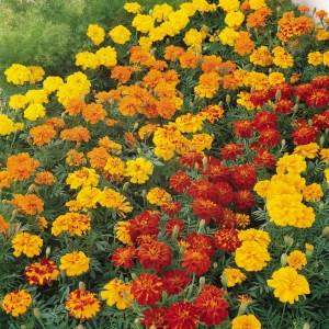 Marigold 'Durango Series'