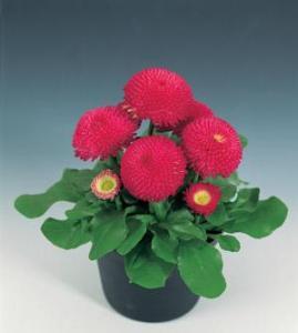 Bellis 'Tasso Deep Rose' (English Daisy)