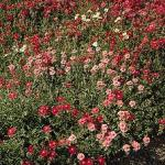 Helianthemum 'Mutabile Mix' (Rock Rose)