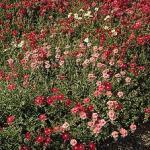Helianthemum 'Mutabile Mix' (Rock Rose)