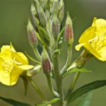 Evening Primrose (Oenthera fruiticosa)
