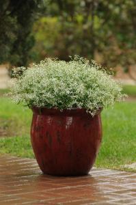 Euphorbia 'Glitz'