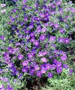 Neirmebergia 'Purple Robe'