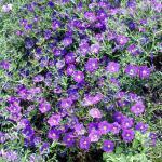 Neiremebergia 'Purple Robe'