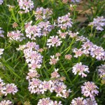 Iberis 'Sweetheart' (Candytuft)