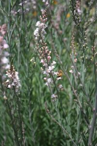 Linaria 'Canon J. Went'  (Toadflax)