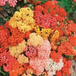 Yarrow 'Summer Berries' (Achillea)