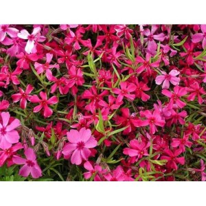 Phlox, Creeping 'Red Wings'
