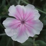 Lychnis 'Angel's Blush'