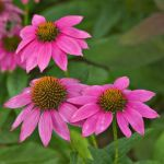 Echinacea 'Pow Wow Wild Berry'