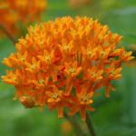 Asclepias tuberosa ' Gay Butterflies Mix'