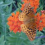 Asclepias tuberosa ' Gay Butterflies Mix'