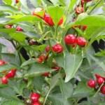 Pepper 'Red Cherry Hot'