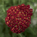 Yarrow 'Desert Eve Red' (Achillea)