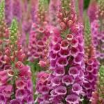 Digitalis 'Paisley Pink' (Foxglove)