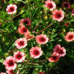 Potentilla 'Miss Willmott'