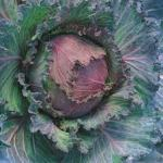 Cabbage, 'January King'