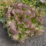 Lettuce 'New Fire Red'