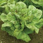 Lettuce 'Flashy Trout's Back'