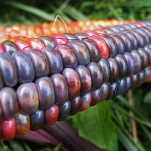 Hope Seeds corn