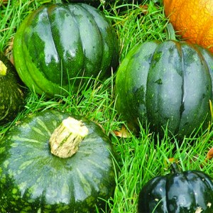 Buttercup Squash - Uncle David's Dakota Dessert