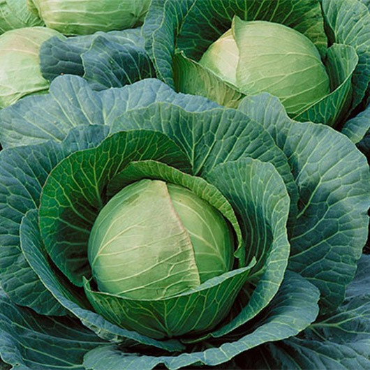 Cabbage - Danish Ballhead