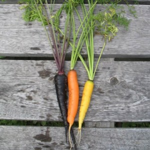 Carrot - Over-The-Rainbow Blend
