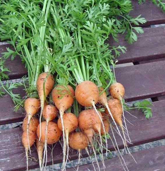 Carrot - Tonda di Parigi | Organic