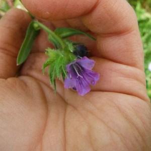 Flowers - Phacelia