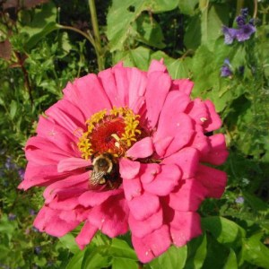 Flowers - Zinnia - Giant Mix