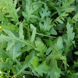 Greens - Arugula | Organic |