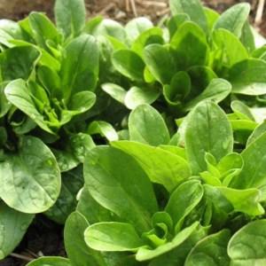 Greens - Mache Corn Salad | Organic |