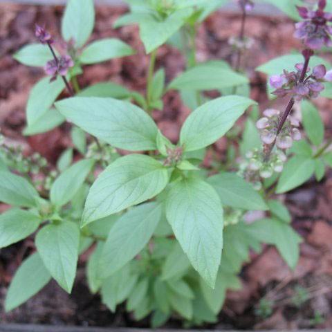 Herbs - Basil - Sweet Thai | Organic |