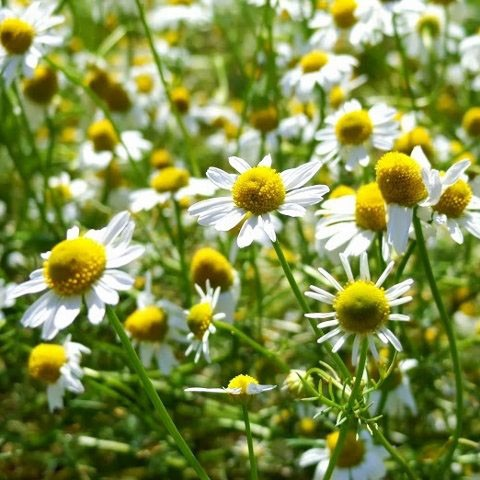 Herbs - Chamomile | Organic |