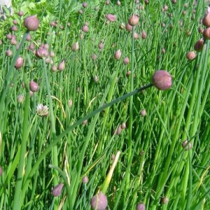 Herbs - Chives - Common   Organic  