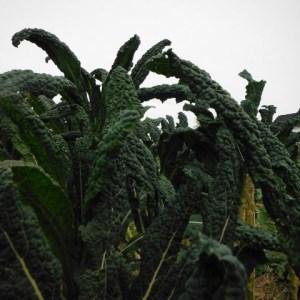 Kale - Lacinato Dinosaur | Organic |