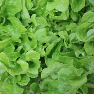 Lettuce - Green Oakleaf