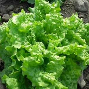 Lettuce - Leaf - Black Seeded Simpson