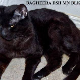 Bagheera is a lover boy. Loves people and other cats and was great around my kittens. He is neutered, rabies and fully vaccinated and waiting and hoping for his very own family