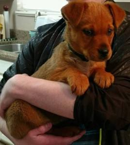 Charlie is bbout 10 weeks old and is an adorable mix of who-knows-what. Available the end of April