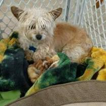 ADOPTED - Daisy. is around 6 years old. A Yorkie mix, she weighs only about 7 pounds. Very sweet with everyone