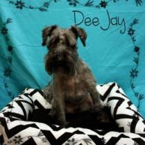 4 year-old Dee Jay seems like a serious little guy but he likes to have fun, too! This calm, sweet-natured mini-schnauzer is good with other dogs, cats, and kids, and would like to meet you soon! Dee Jay is neutered, microchipped, and fully vaccinated, and ready to go! Adoption fee: $150.