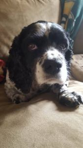 Oreo is a sweet cocker spaniel, around 7 years old. Great with everyone. He will be having a badly needed dental cleaning and will will be available around April 23rd.