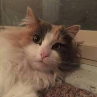 ADOPTED! This is Sally. She is a bit shy at first but warms up very fast! She has a very loud motor & loves being petted. She has lived with other cats her whole life. She is approx 3-yrs old, spayed and up-to-date on her rabies. Sally will need a good brushing everyday to keep her coat beautiful!