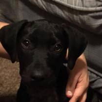 ADOPTED! Cas is a 13 week old Lab mix. Available Feb 13th