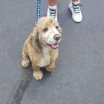 Adopted!Poochy. 8 years old. A total sweetheart. He will be available in a few weeks when he has been vetted.