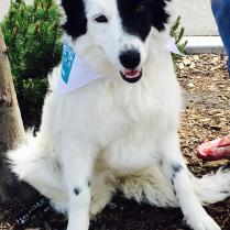 Adopted! - Gracie is a beautiful Border collie with a zest for life and fun!
