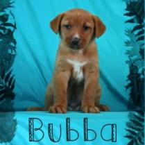 ADOPTED! Bubba, one of Rose's adorable puppies!
