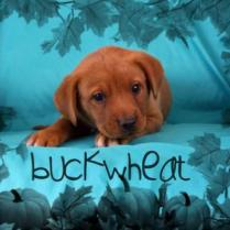 ADOPTED! Buckweat, one of Rose's puppies!