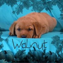 ADOPTED! Walnut, one of Rose's darling puppies!